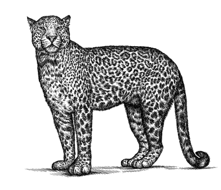 linear art: engrave isolated leopard illustration sketch. linear art