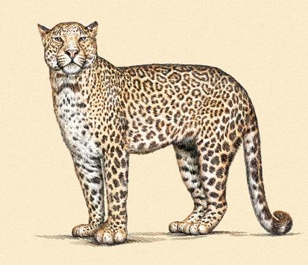 graveren geïsoleerde luipaard illustratie schets. lineaire kunst Stockfoto