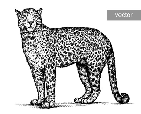 Incidere vettoriale isolato leopardo illustrazione schizzo. arte lineari Archivio Fotografico - 46498197