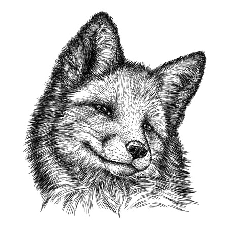 white fur: engrave isolated fox illustration sketch. linear art Stock Photo