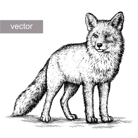 engrave isolated fox vector illustration sketch. linear art