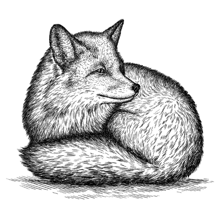 linear art: engrave isolated fox illustration sketch. linear art Stock Photo