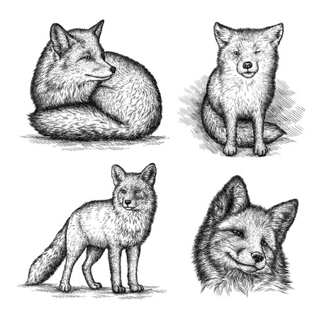 fox: engrave isolated fox illustration sketch. linear art Stock Photo