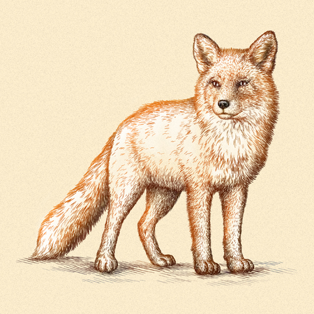 draw: engrave isolated fox illustration sketch. linear art Stock Photo