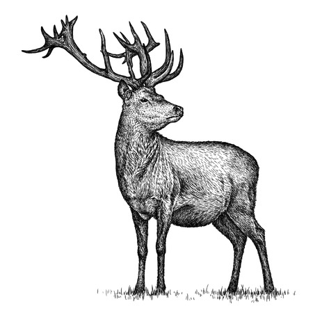 Gravieren isoliert deer illustration Skizze. lineare Kunst Standard-Bild - 46498313