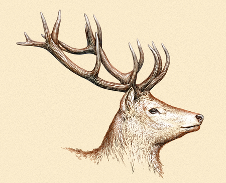 predator: engrave isolated deer illustration sketch. linear art