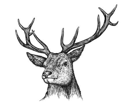 graveren geïsoleerd herten illustratie schets. lineaire art