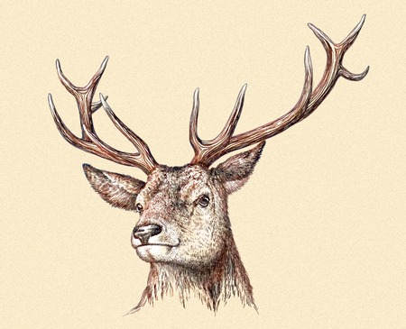 stag horn: engrave isolated deer illustration sketch. linear art
