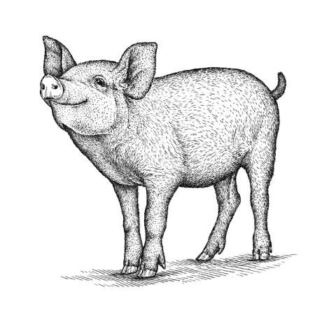 고립 된 돼지 그림 스케치를 새기다. 선형 예술