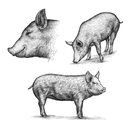 serious: engrave isolated pig illustration sketch. linear art