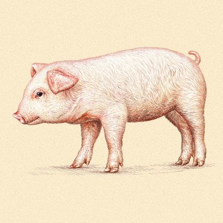 hoofed: engrave isolated pig illustration sketch. linear art