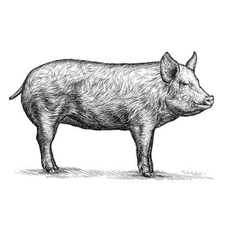고립 된 돼지 그림 스케치를 새기다. 선형 예술 스톡 콘텐츠 - 46498445