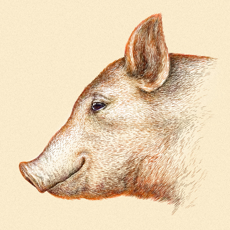 linear art: engrave isolated pig illustration sketch. linear art