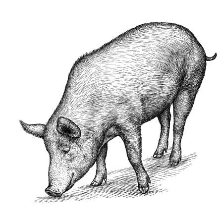 격리 된 돼지 그림 스케치를 오목. 선형 예술 스톡 콘텐츠