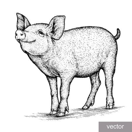 engrave isolated pig vector illustration sketch. linear art Vettoriali