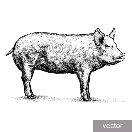 engrave isolated pig vector illustration sketch. linear art Ilustração