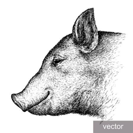 jabali: grabar vectorial aislado cerdo ilustración boceto. lineal de la técnica
