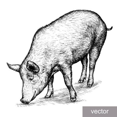 young pig: engrave isolated pig vector illustration sketch. linear art Illustration