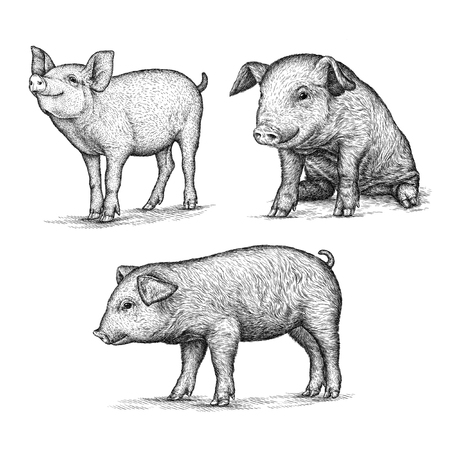 engrave isolated pig illustration sketch. linear art
