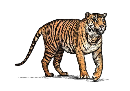 powerful: engrave isolated tiger illustration sketch. linear art