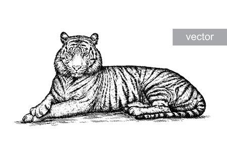 aggression: engrave isolated tiger vector illustration sketch. linear art