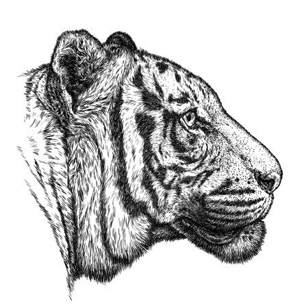animal head: engrave isolated tiger illustration sketch. linear art