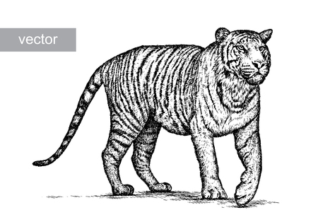 engraving: engrave isolated tiger vector illustration sketch. linear art