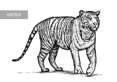 guepardo: grabar aislado tigre ilustraci�n vectorial boceto. lineal de la t�cnica