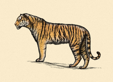 linear art: engrave isolated tiger illustration sketch. linear art