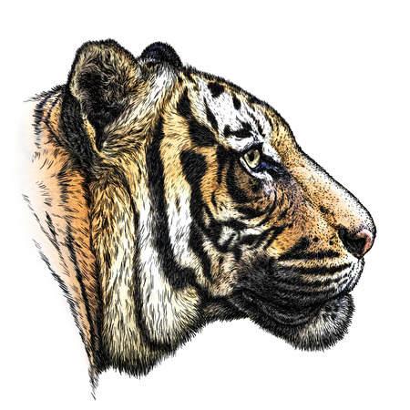grin: engrave isolated tiger illustration sketch. linear art