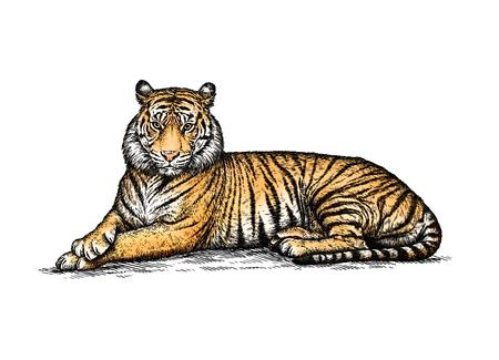 animaux du zoo: graver isolé tigre illustration croquis. art linéaire Banque d'images