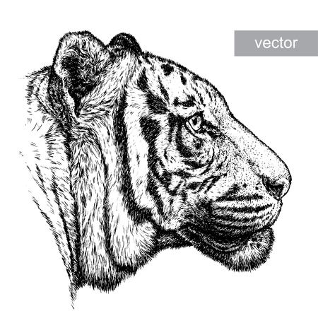 tiger isolated: engrave isolated tiger vector illustration sketch. linear art