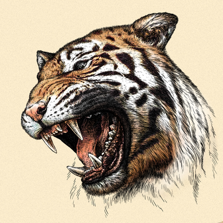 engrave: engrave isolated tiger illustration sketch. linear art