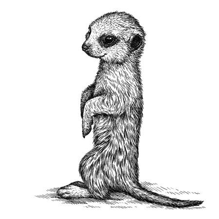 meerkat: engrave isolated meerkat illustration sketch. linear art