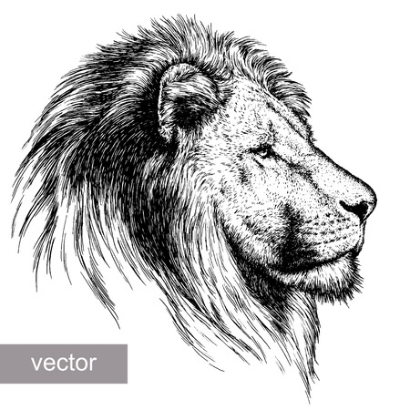 the lions: grabar joven le�n ilustraci�n vectorial boceto. lineal de la t�cnica
