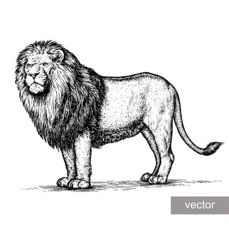 leones: grabar joven león ilustración vectorial boceto. lineal de la técnica