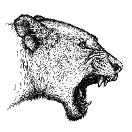 prideful: engrave isolated lion illustration sketch. linear art