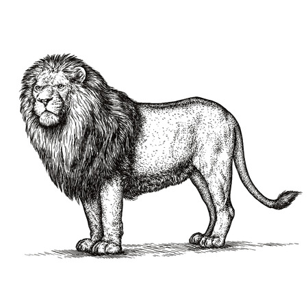 engraving: engrave isolated lion illustration sketch. linear art