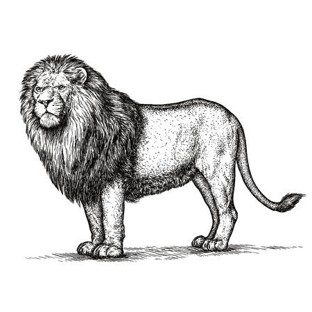 leones: grabar aislado ilustración león boceto. lineal de la técnica
