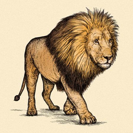 animales de la selva: grabar aislado ilustración león boceto. lineal de la técnica