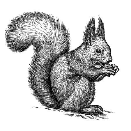 dessin noir et blanc: graver isolé écureuil illustration croquis. art linéaire