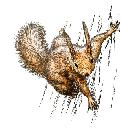 linear art: engrave isolated squirrel illustration sketch. linear art Stock Photo