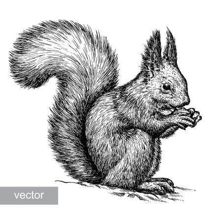 Graveren geïsoleerde vector eekhoorn illustratie schets. lineaire kunst Stockfoto - 47636380