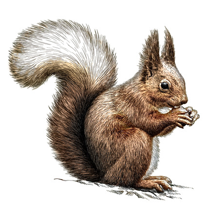 Graveren geïsoleerde eekhoorn illustratie schets. lineaire kunst Stockfoto - 47636381