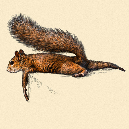 forest animals: engrave isolated squirrel illustration sketch. linear art Stock Photo