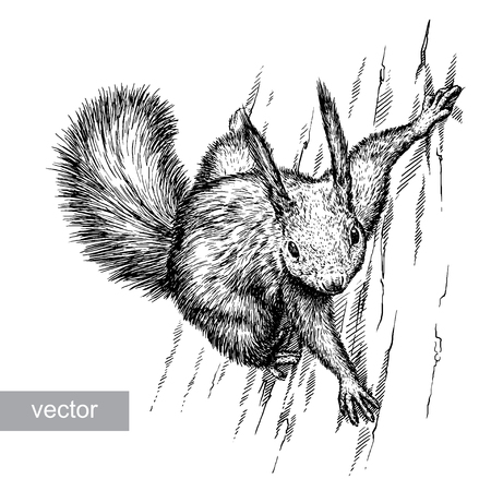 artful: engrave isolated vector squirrel illustration sketch. linear art