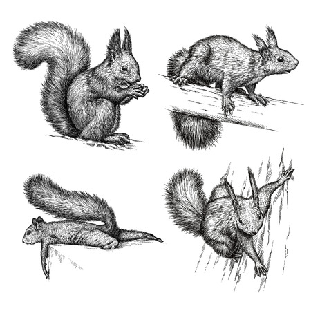 engrave isolated squirrel illustration sketch. linear art Фото со стока
