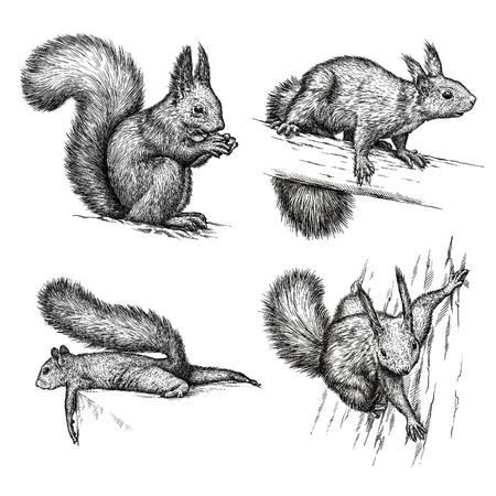 engrave isolated squirrel illustration sketch. linear art Foto de archivo