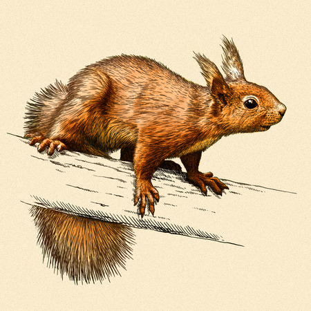 artful: engrave isolated squirrel illustration sketch. linear art Stock Photo
