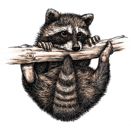 linear art: engrave isolated raccoon illustration sketch. linear art